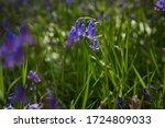 Bluebell Flower Closeup...