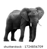 African Elephant At The Zoo ...