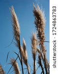 Phragmite Reeds Against A Blue...
