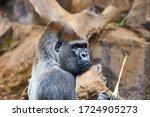 Portrait Of Big  Black Gorilla...