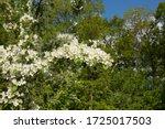 Spring Flowering White Blossom...