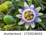 Small photo of Close up passiflora. Passion Flower (Passiflora caerulea) leaf in tropical garden. Beautiful passion fruit flower or Passiflora (Passifloraceae).