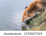 Fox Drinks Water From The River