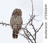 Ural Owl In Natural Habitat ...