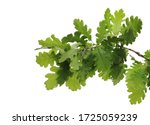 Young Oak Leaves On Branch ...
