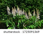 Ornamental Plant Of Aesculus...
