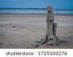 Lonely Dead Tree On The Beach