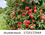 Many Colorful Red Apples On...