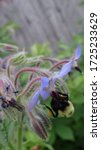 Blue Borage plant that is edible in southern Wisconsin.  The beetles and bees seem to like it too!