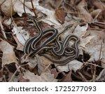 Two Eastern Garter Snakes ...