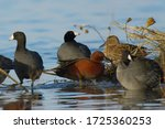 Cinnamon Teal Duck Surrounded...