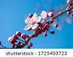 Cherry Flowers Tree  Blooming...