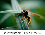 Portrait Of A Wasp. Macro...
