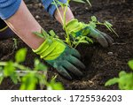 Woman In Gloves Plants A Bush...