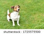 Beautiful Dog Jack Russell...