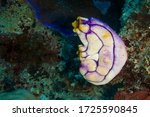 Ox heart ascidian, gold-mouth sea squirt or ink-spot sea squirt (Polycarpa aurata) Great Barrier Reef, Australia