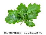 Green Oak Leaf Isolated On...