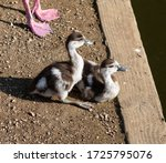 Egyptian Goslings By The Side...