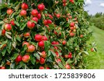Many Red Apples On Tree Ready...