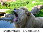 Portrait Of A Male Lion With...