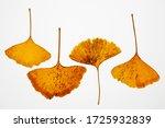 ginkgo biloba leaves on white...   Shutterstock . vector #1725932839