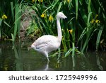 Isolated Chilean Flamingo In...