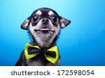 beautiful chihuahua dog with... | Shutterstock . vector #172598054
