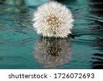 Fluffy Dandelion Against The...