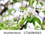 Pear Blossoms. Branch Of...