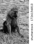 Small photo of A pesky baby baboon hides behind its mother