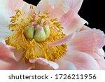 Pastel Pink White Peony Blosso...