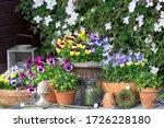 Garden Scene With Viola Flowers ...