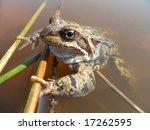 Grass Frog  Rana Temporaria