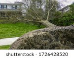 Uprooted Tree Near A...