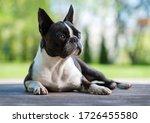 Boston Terrier Dog On Brown...