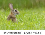 European Rabbit  Oryctolagus...