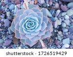 Closeups Blue Fresh Succulent...