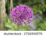 Allium Pink Opening Flower Head ...