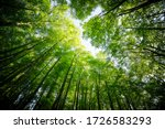 Forest  Lush Foliage  Tall...