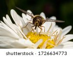 Wasp Sits On A White Flower An...