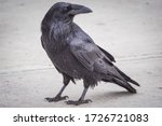 A Common Raven Searching For...