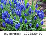 Perennial Bulbous Plant Muscari ...