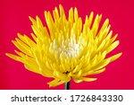 Vividly Chrysanthemum.  A...