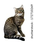 Stock photo striped siberian cat isolated on white 172710269