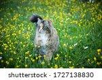 Beautiful Norwegian Long Furred ...