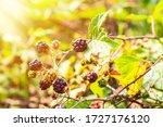 Ripening Berries Of Wild...