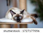 Pet Animal  Siamese Kitten Cat