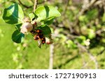 Ladybug Takes Off From A  Apple ...