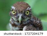 Owl With Yellow Big Eyes
