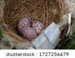 Rufous Hummingbird Nest Along...